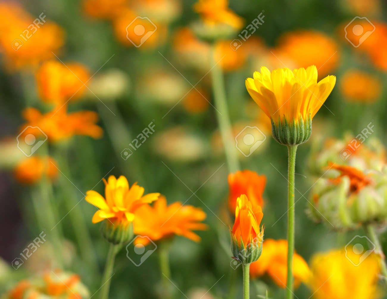 Yellow flower in garden. Shallow DOF. Stock Photo - 7380536