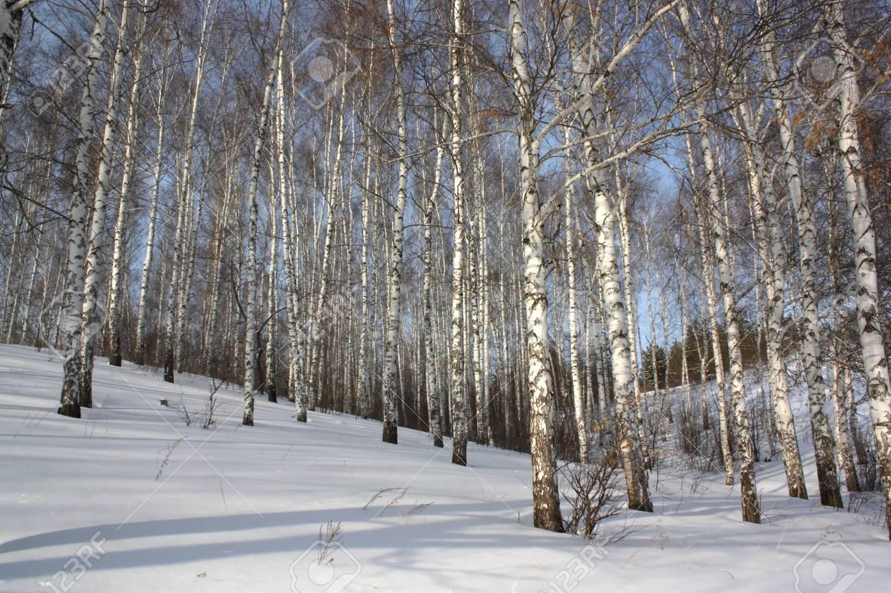 Winter birch wood Stock Photo - 8820780