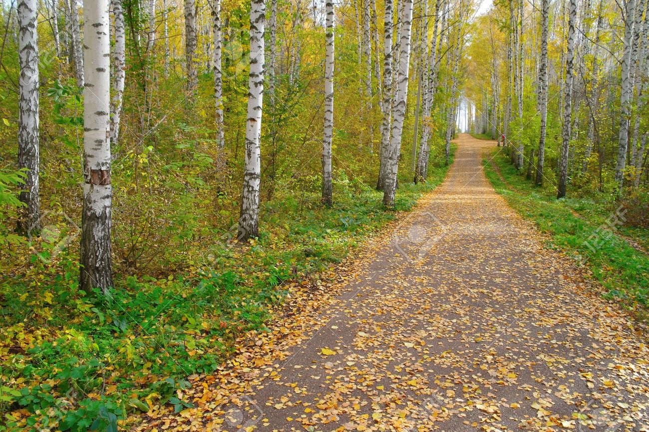 Path in autumn birch grove Stock Photo - 12396007