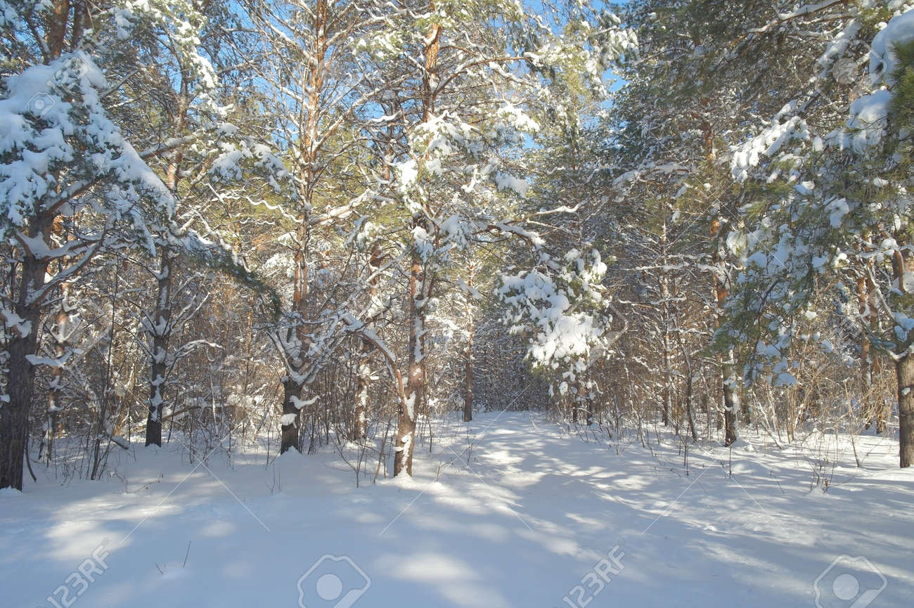 Winter landscape in forest with pines Stock Photo - 19237579