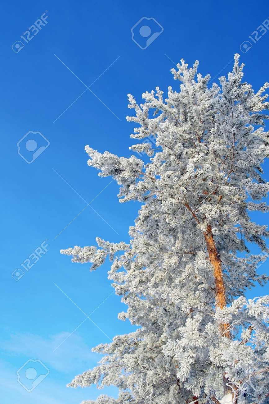 Winter landscape in forest with pines Stock Photo - 26344267