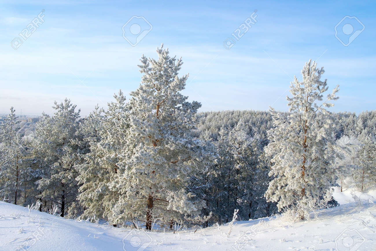 Pines snow covered on the mountain Stock Photo - 26868698