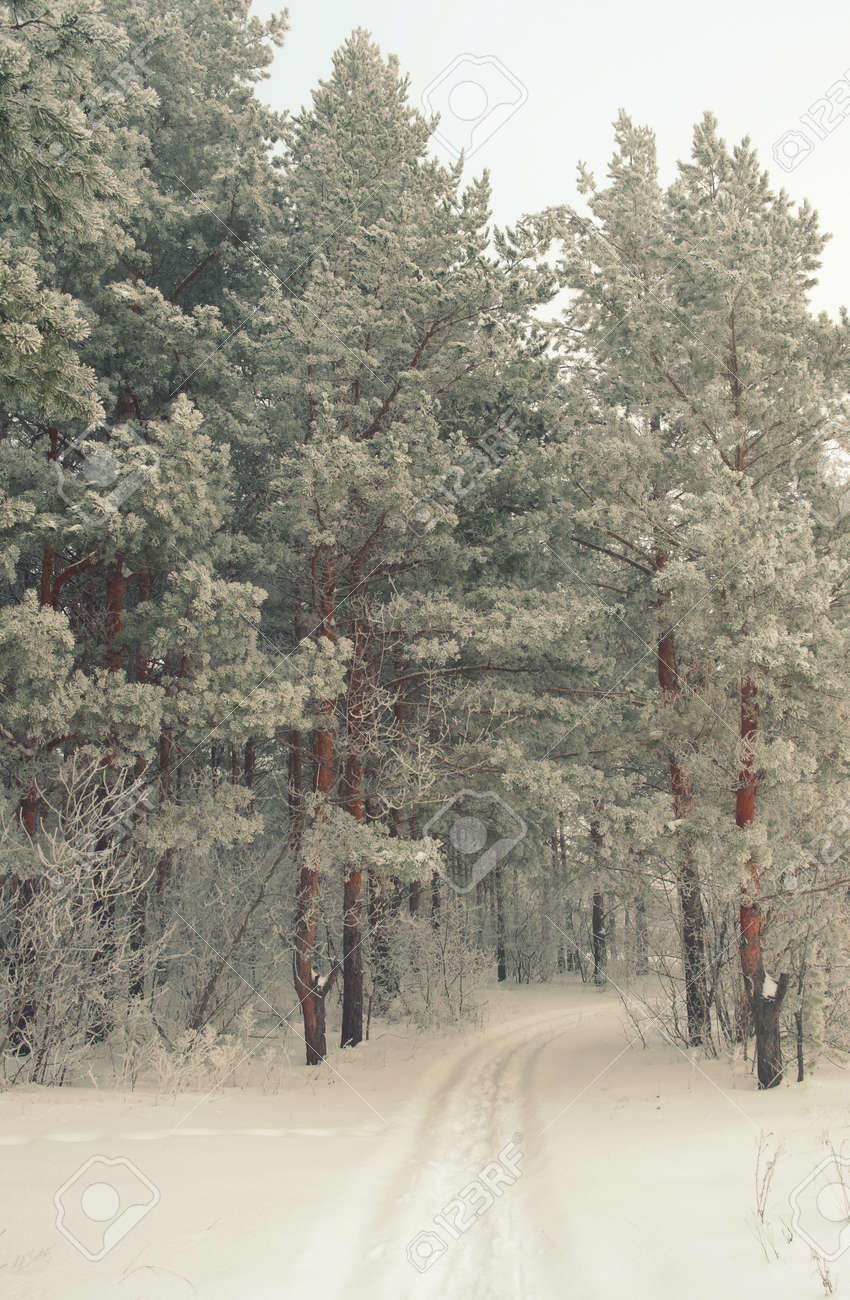 Winter foggy landscape in forest with pines Stock Photo - 30714635