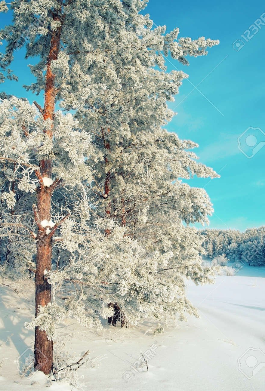 Winter landscape with pines hoarfrost covered Stock Photo - 30714636