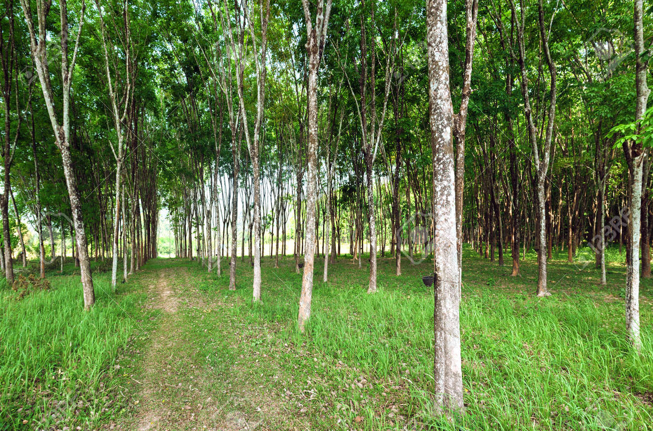 Rubber tree natural latex extraction  Hevea plants in Thailand Stock Photo - 18568038
