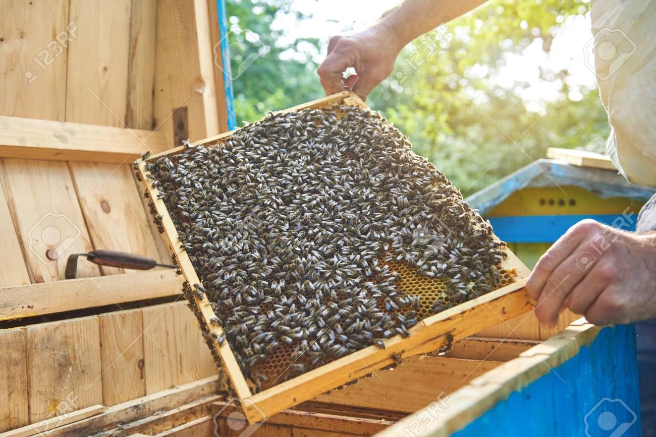 Imker, Der In Seinem Bienenstock Arbeitet, Hält Wabenrahmen ...