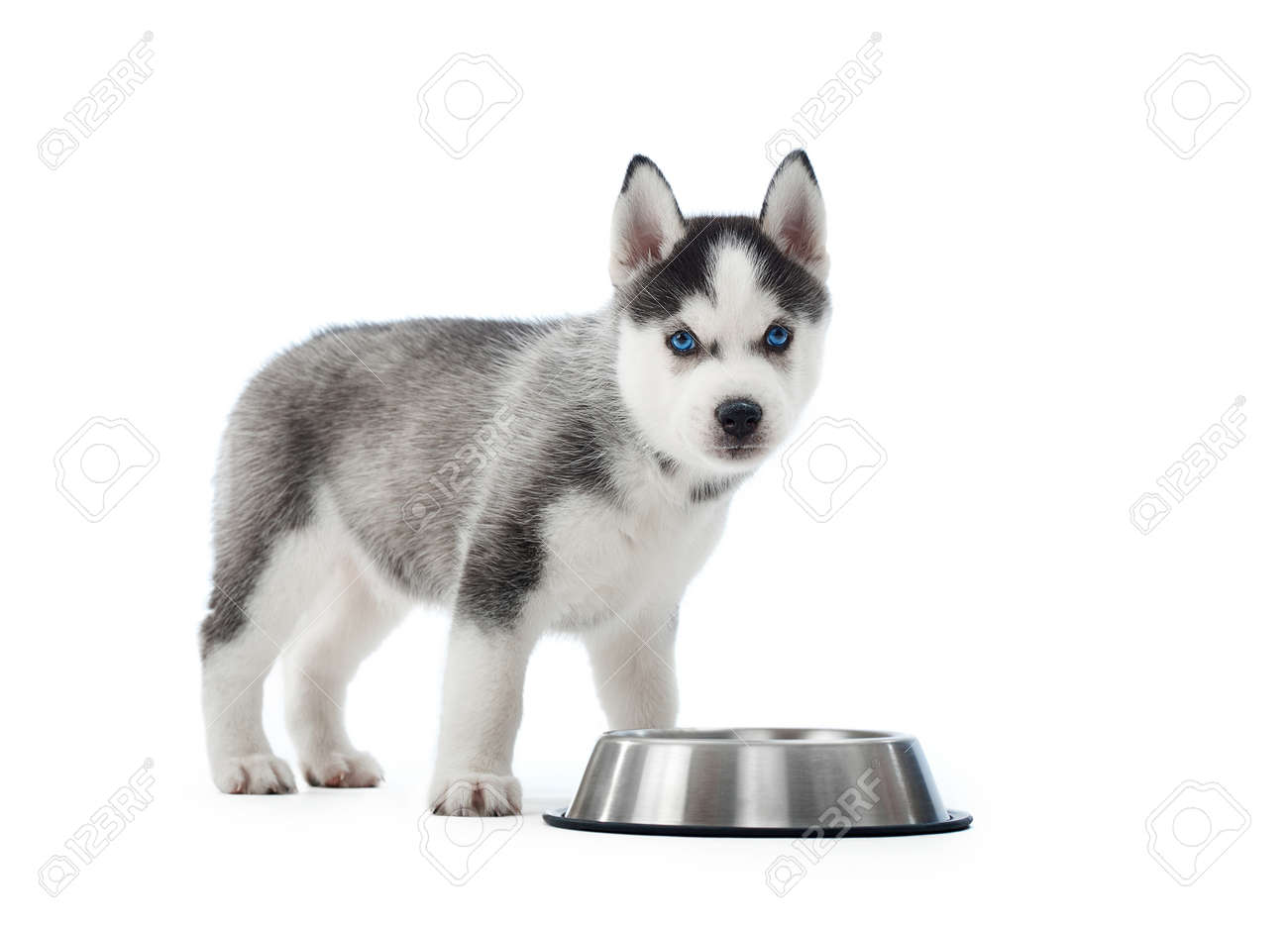 Carried Puppy Of Siberian Husky Dog Standing Near Silver Plate