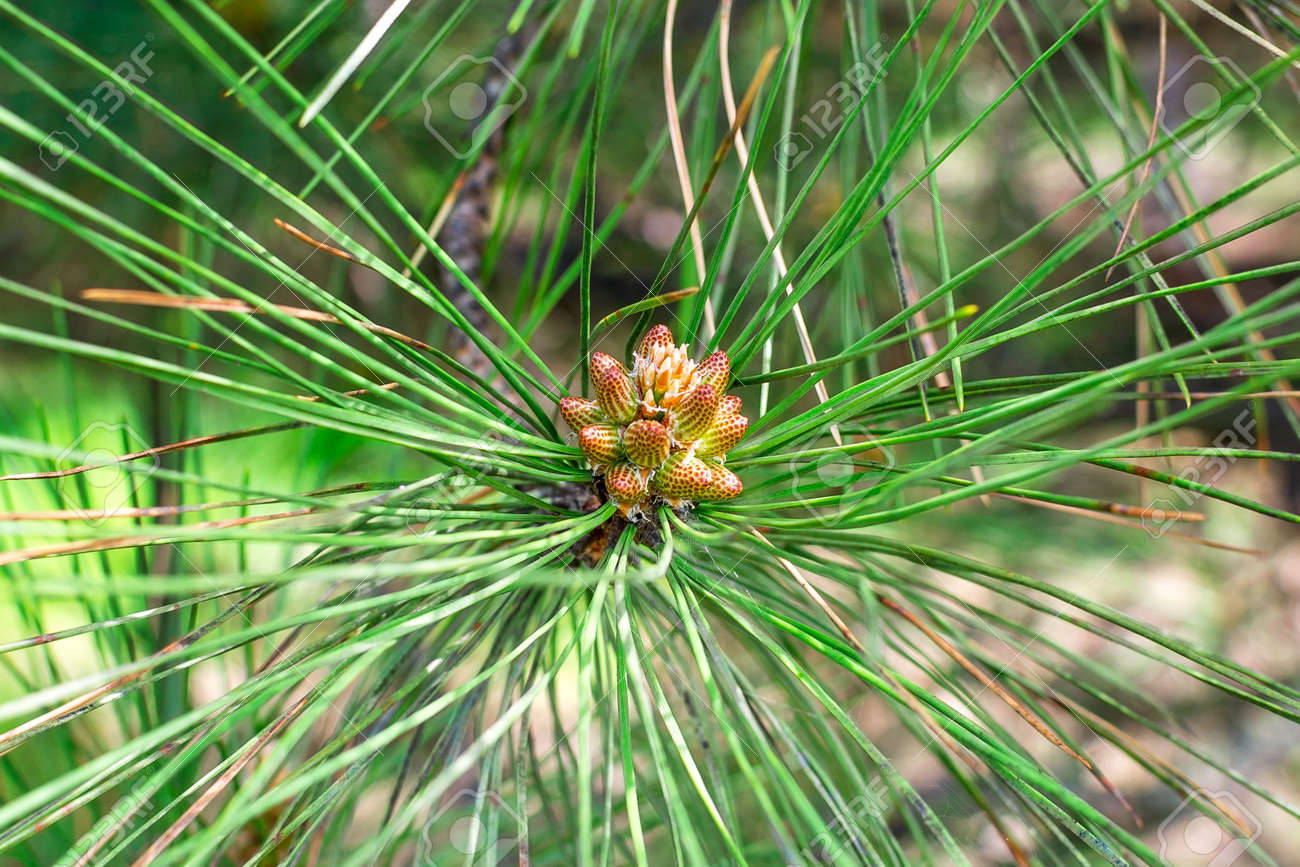 Cone bud on the branches of fir trees. Banque d'images - 84344080