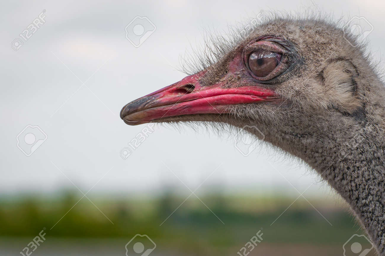 Un gros plan d'une autruche. Le plus grand oiseau sans vol. Banque d'images - 84790058