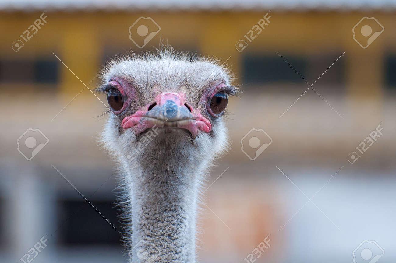 A close-up of an ostrich. The largest flightless bird. Banque d'images - 84790060