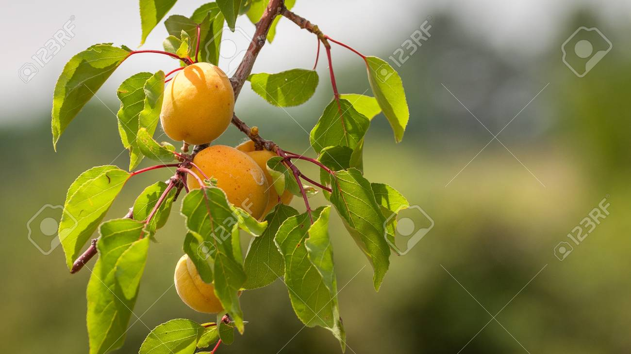 Bunch of ripe apricots on a branch on a sunny day. Banque d'images - 85433312