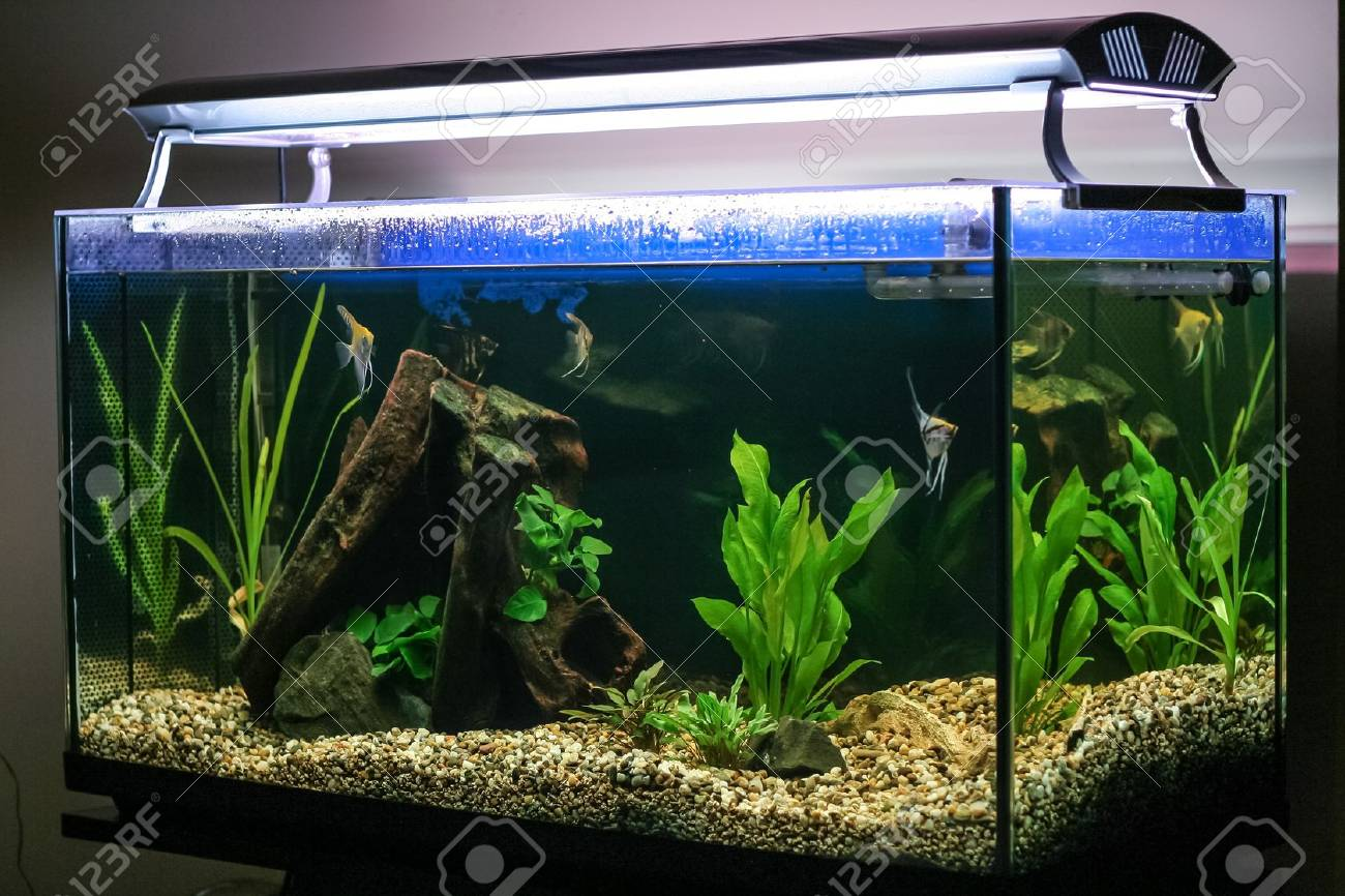 Fish in tank swimming - Stock Photo Tropical Fish Swimming In Lighted Aquarium Or Fish Tank