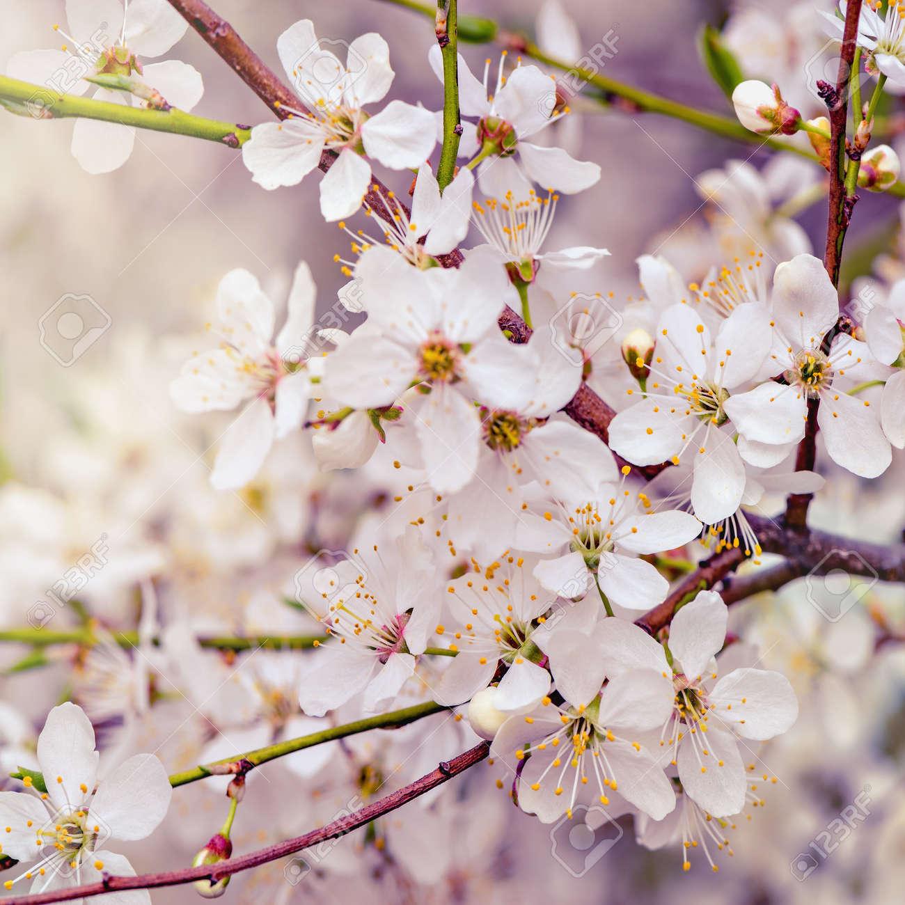 Branche De Cerisier floraison branche de cerisier avec des fleurs blanches sur fond