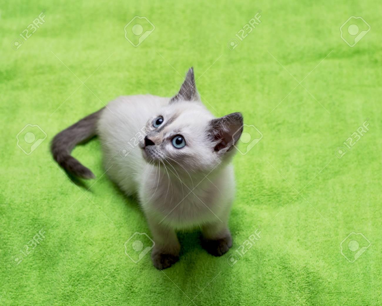 377c765f45 Beautiful White Kitten With Blue Eyes