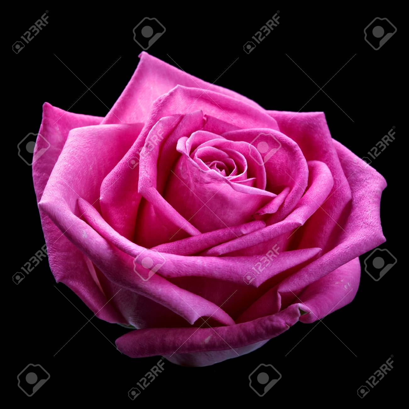 Beautiful pink rose head isolater on black background stock photo beautiful pink rose head isolater on black background stock photo 68640276 izmirmasajfo