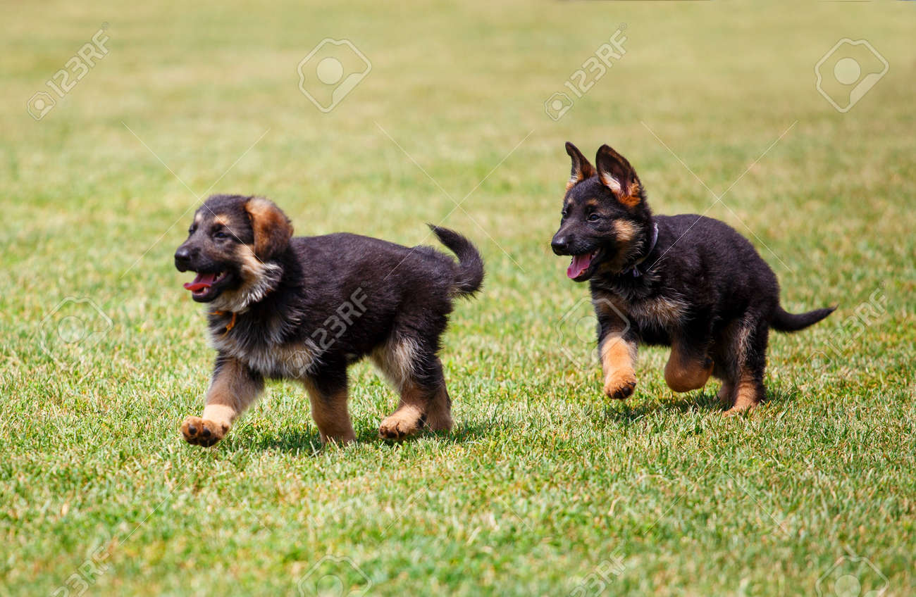 Two Little German Shepherd Puppies Running On The Lawn