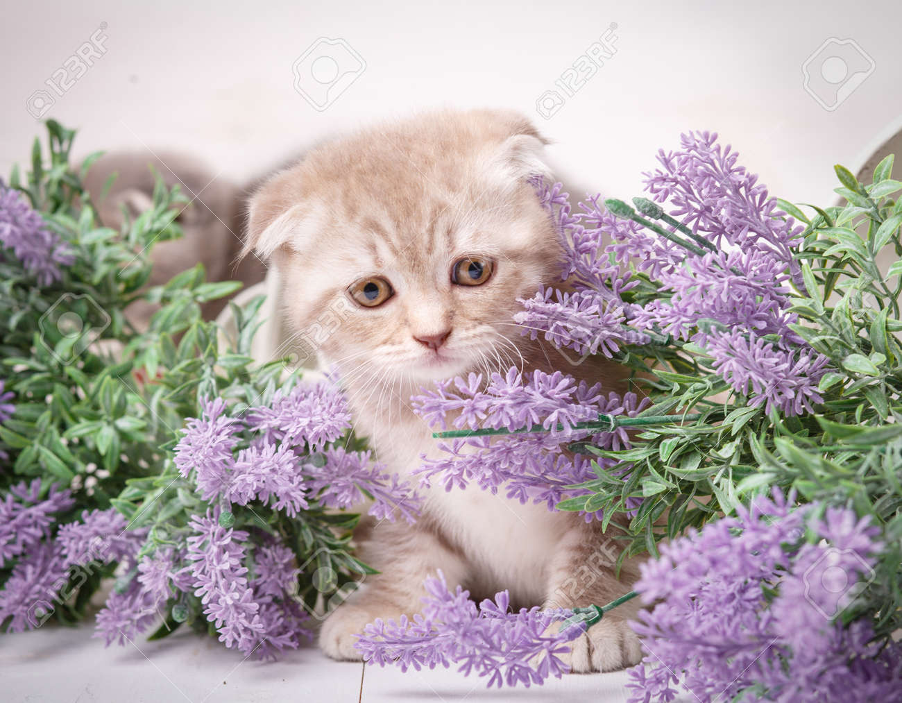 Cream-colored Scottish Kitten Sitting In A Bouquet Of Lavender ...