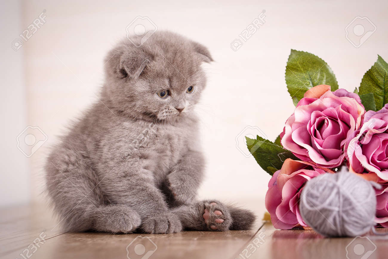 Cat. A Kitten Is Playing. Game With Flowers. Scottish Fold Kitten ...