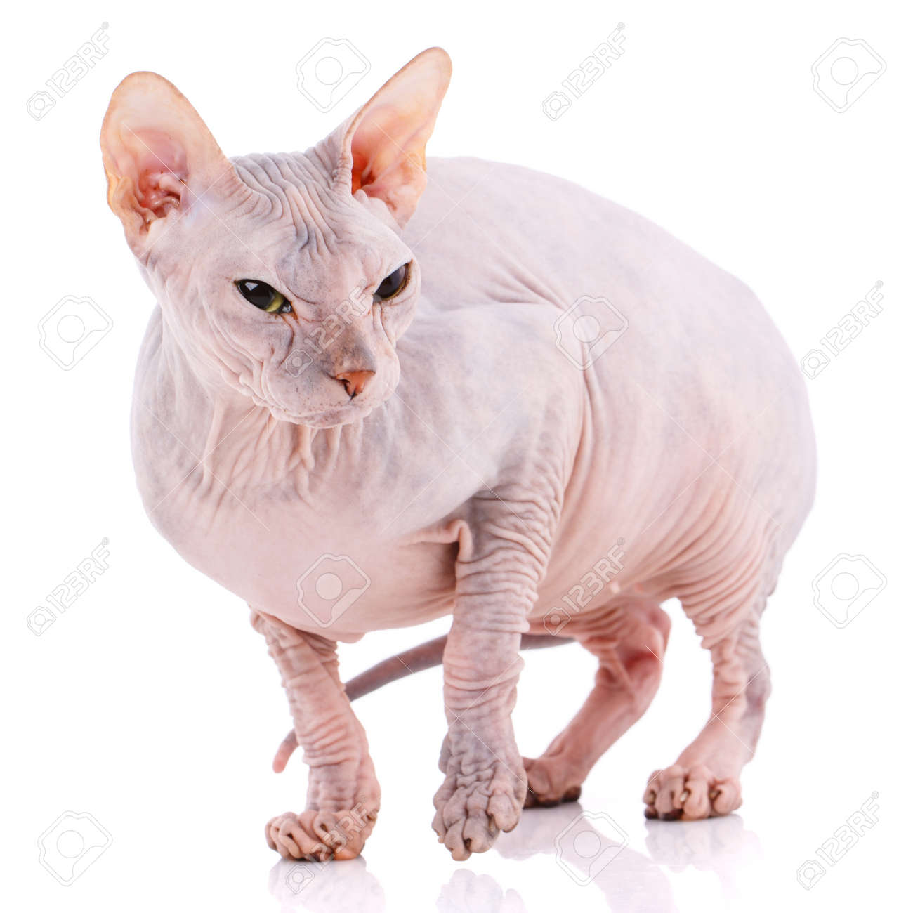 Bald Sphynx kitten on a white