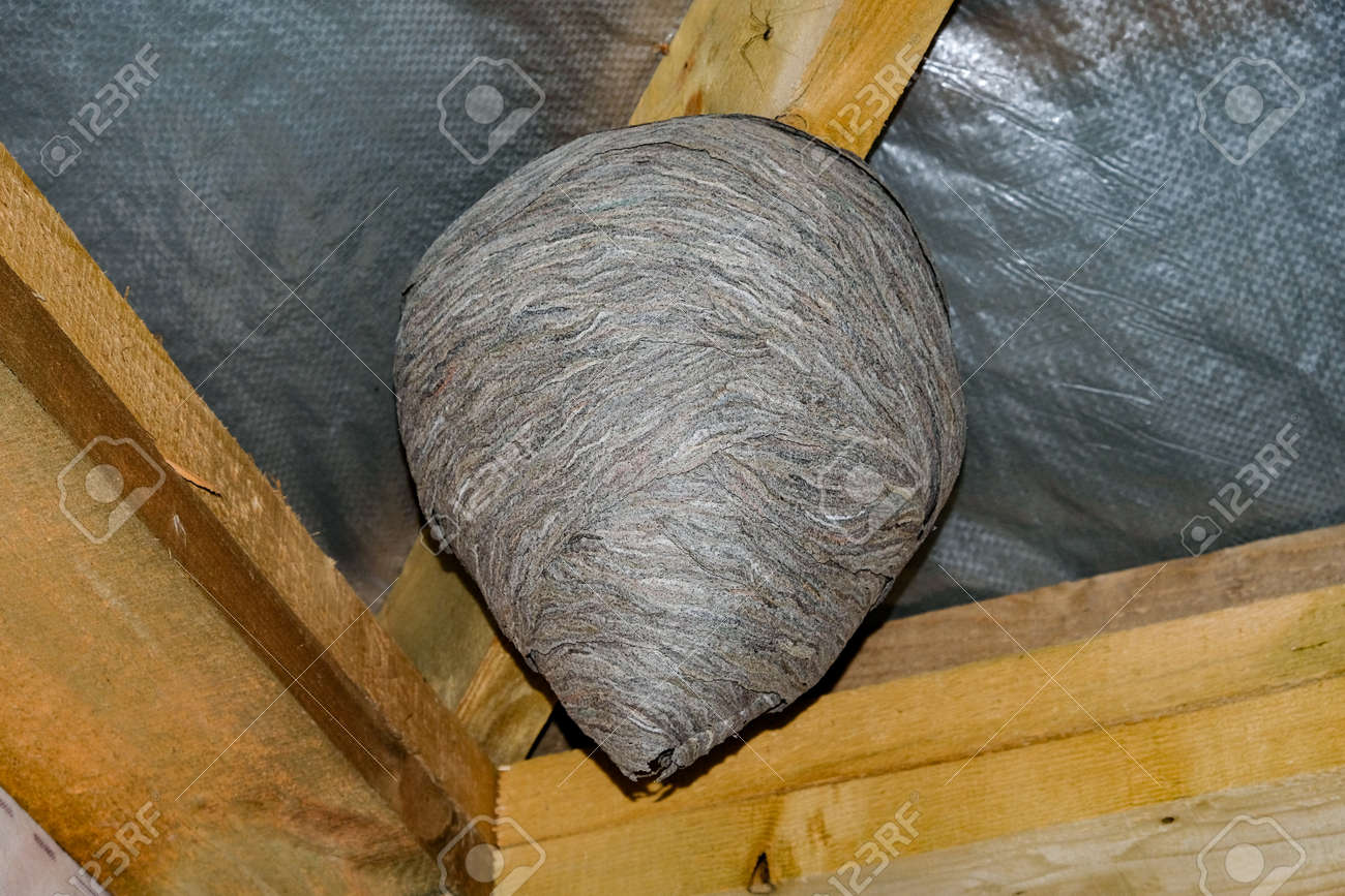 huge wasp nesthuge wasp nest in the attic of a private house Stock Photo - 89823838 & Huge Wasp Nesthuge Wasp Nest In The Attic Of A Private House Stock ...