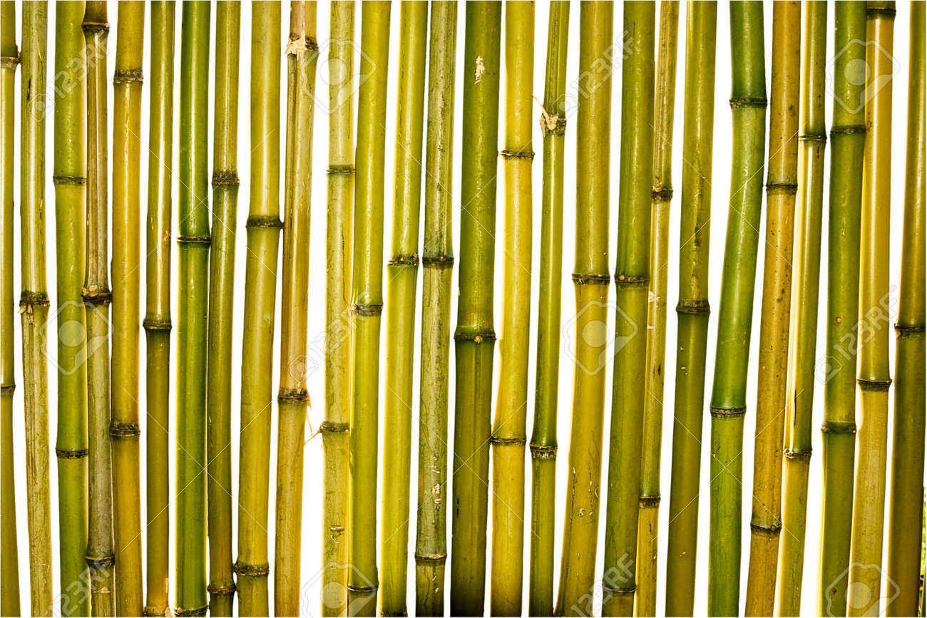 yellow and green trunks of bamboo plants on a white background stock