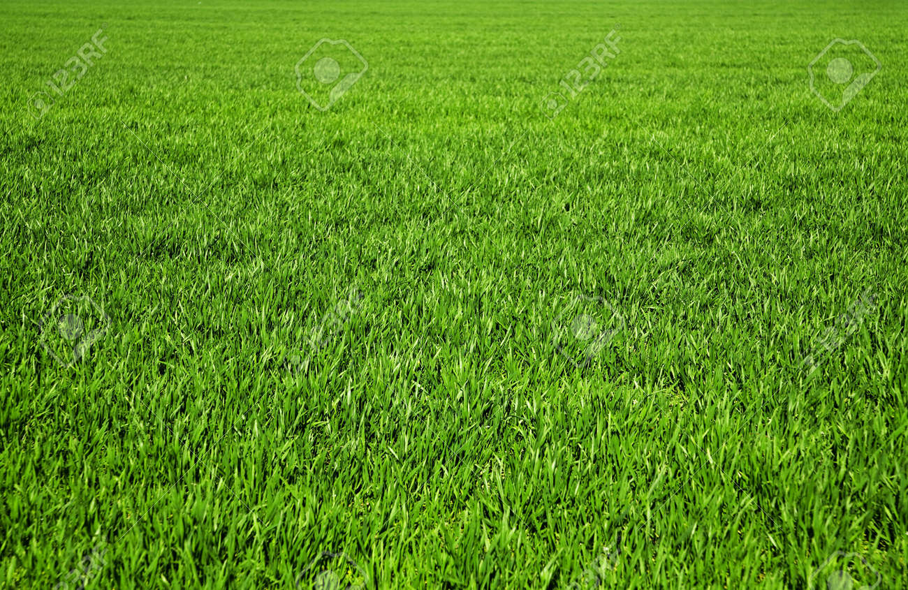 background consisting of juicy green grass on the field Stock Photo - 5357315