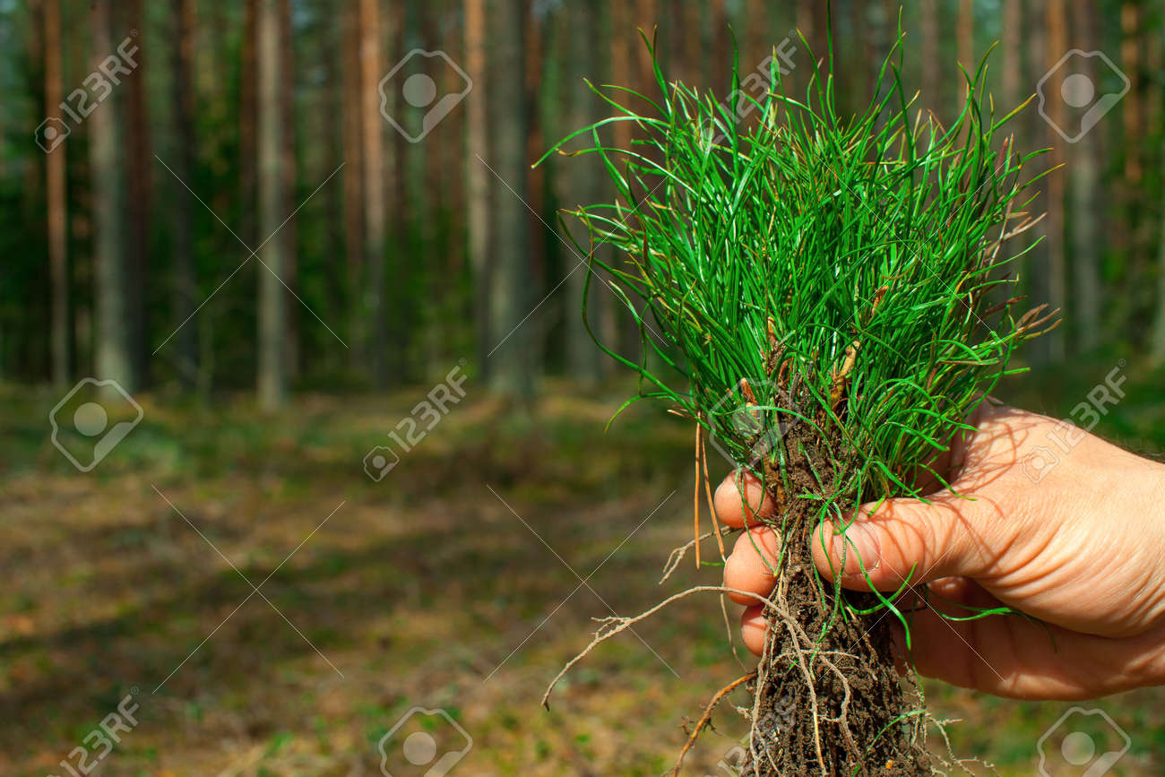 Man's hand holds green pine seedlings. A pine forest grows in the background. - 158796618