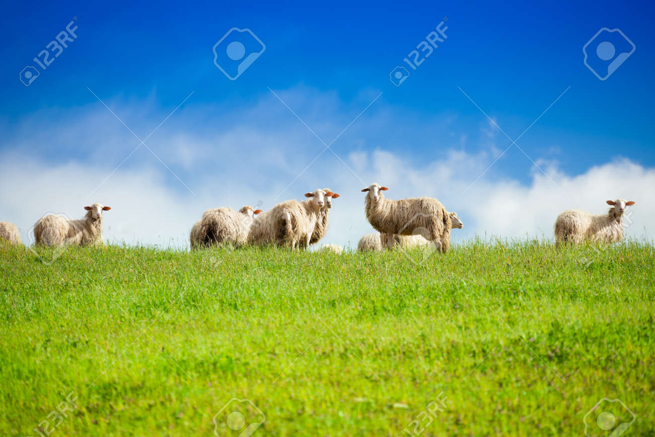 Two sheep looking at camera standing in herd over blue sky - 24003517