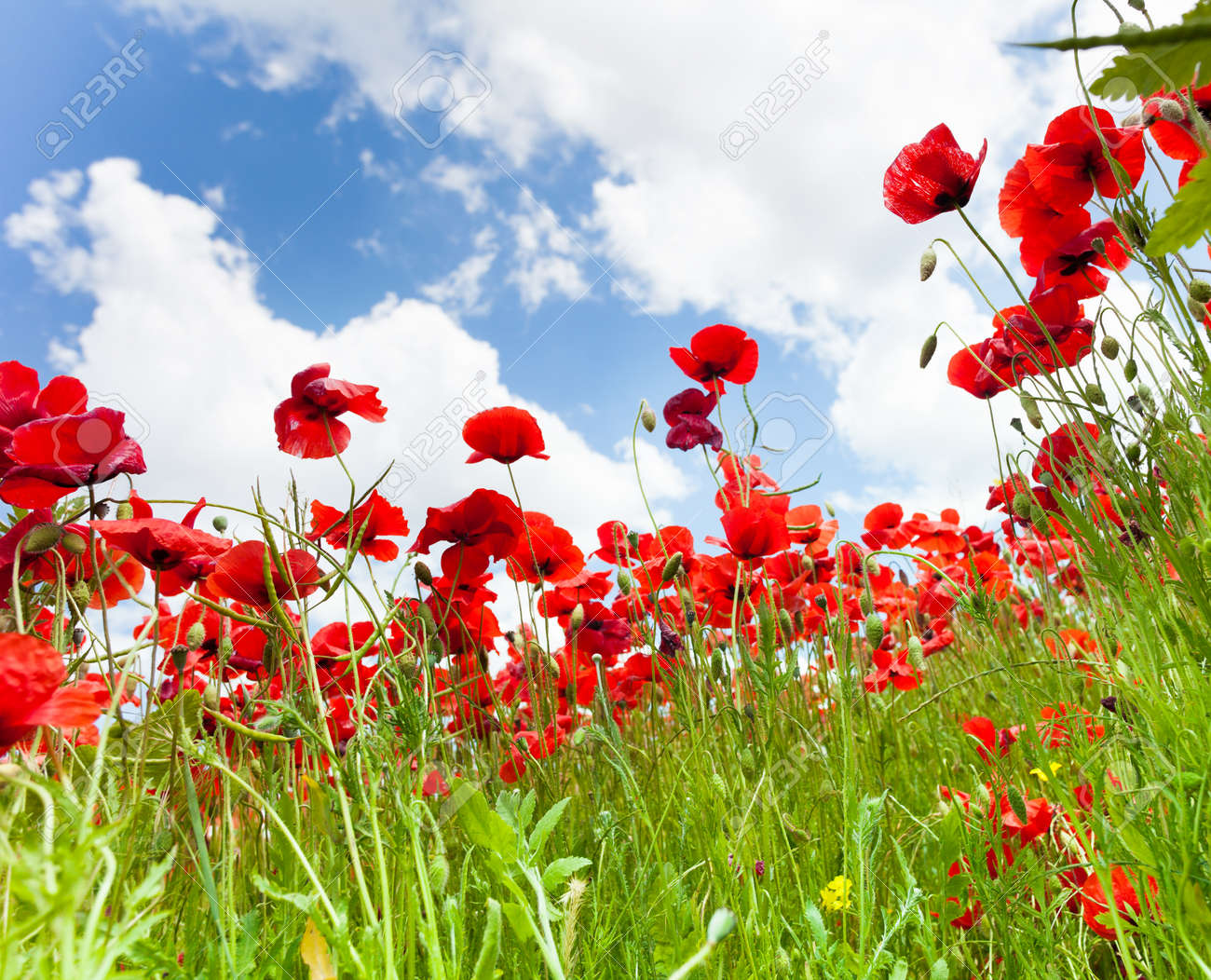 Poppies Flowers In The Spring Field Low Angle Shoot With Clouds