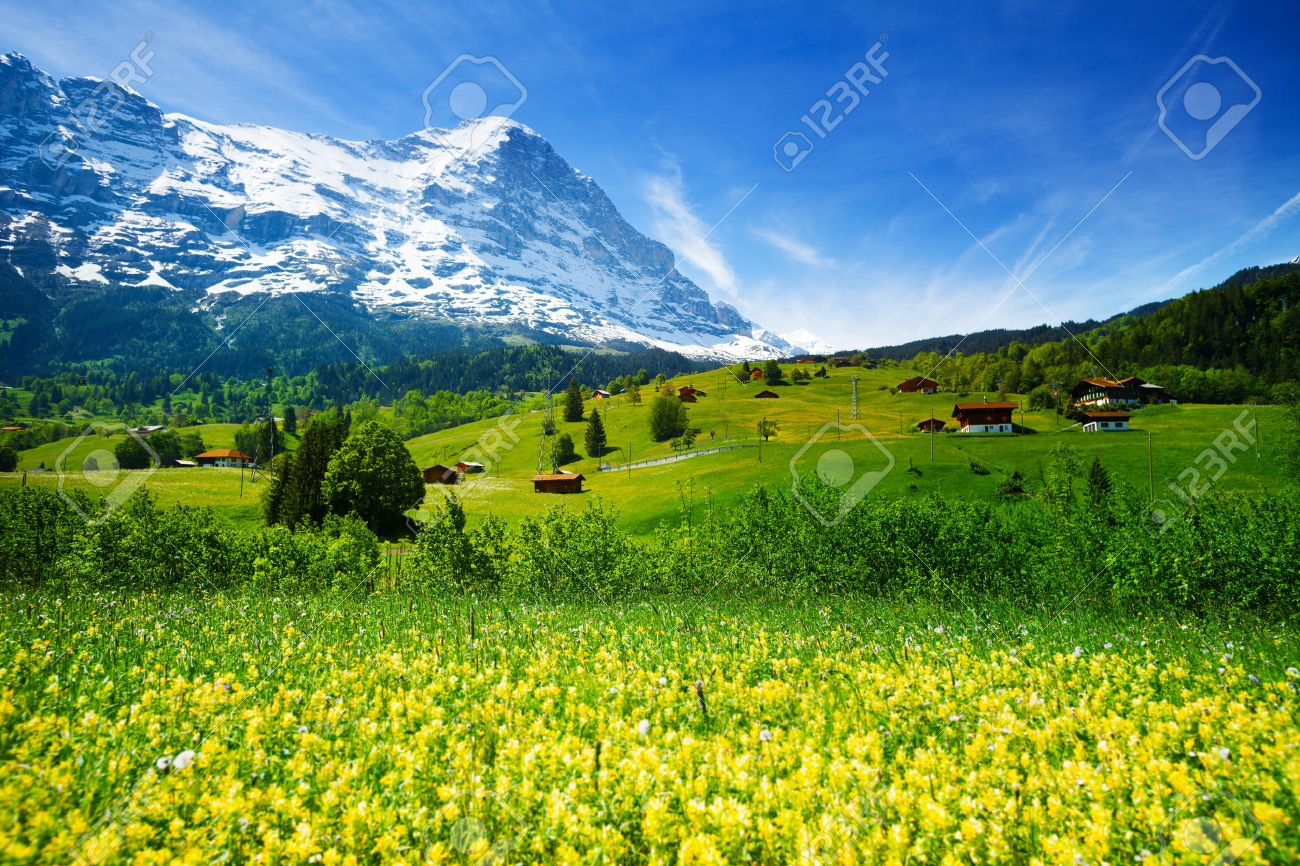 Blooming yellow flowers field of beautiful swiss landscape with blooming yellow flowers field of beautiful swiss landscape with alps mountains covered with snow in summer mightylinksfo