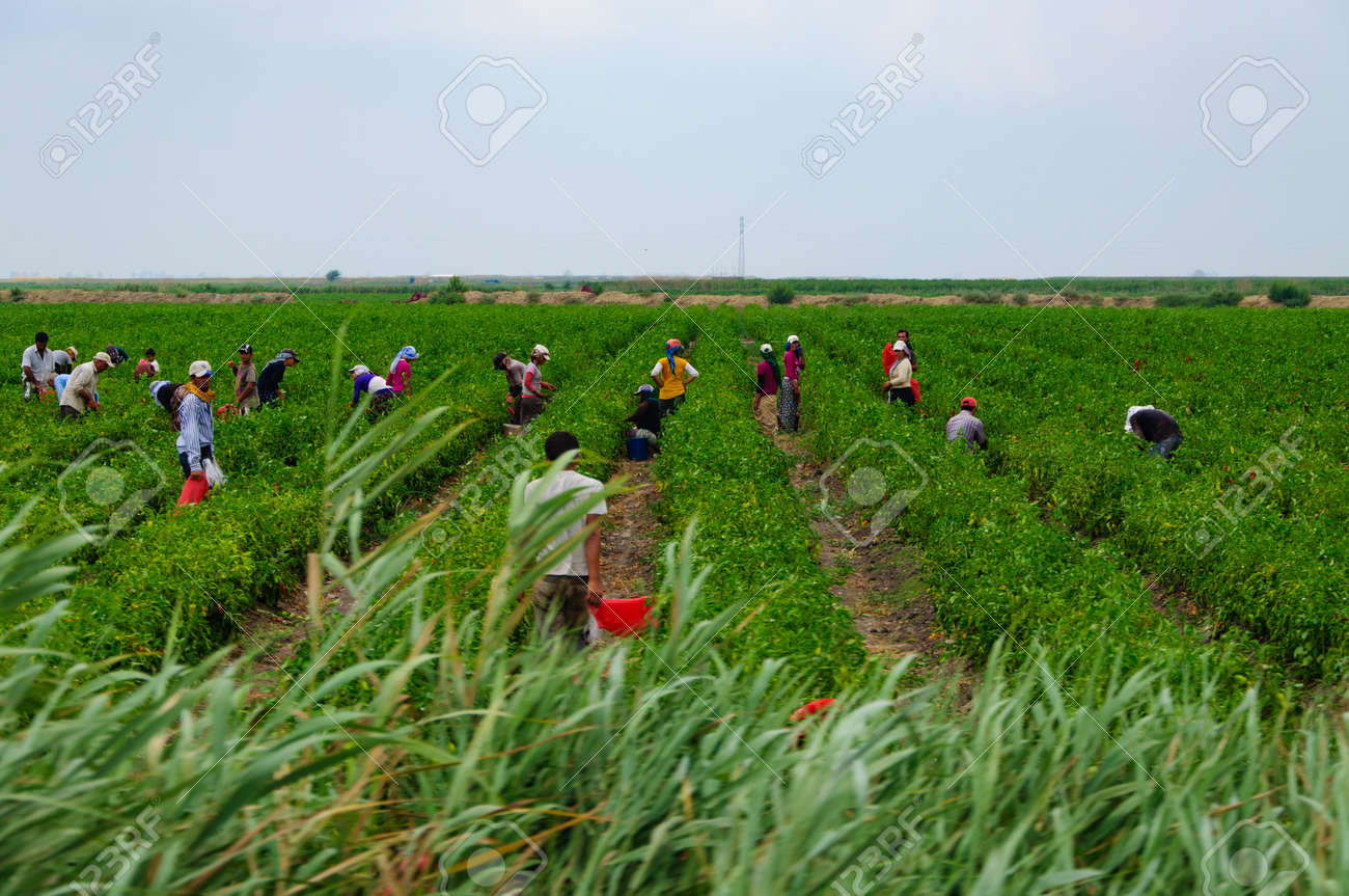 seasonal agricultural workers in field. - 111999276