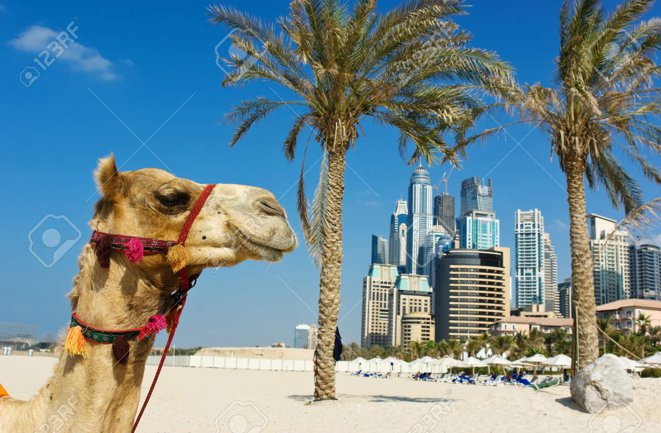 Camel at the urban building background of dubai uae stock photo camel at the urban building background of dubai uae stock photo 16532335 altavistaventures Choice Image
