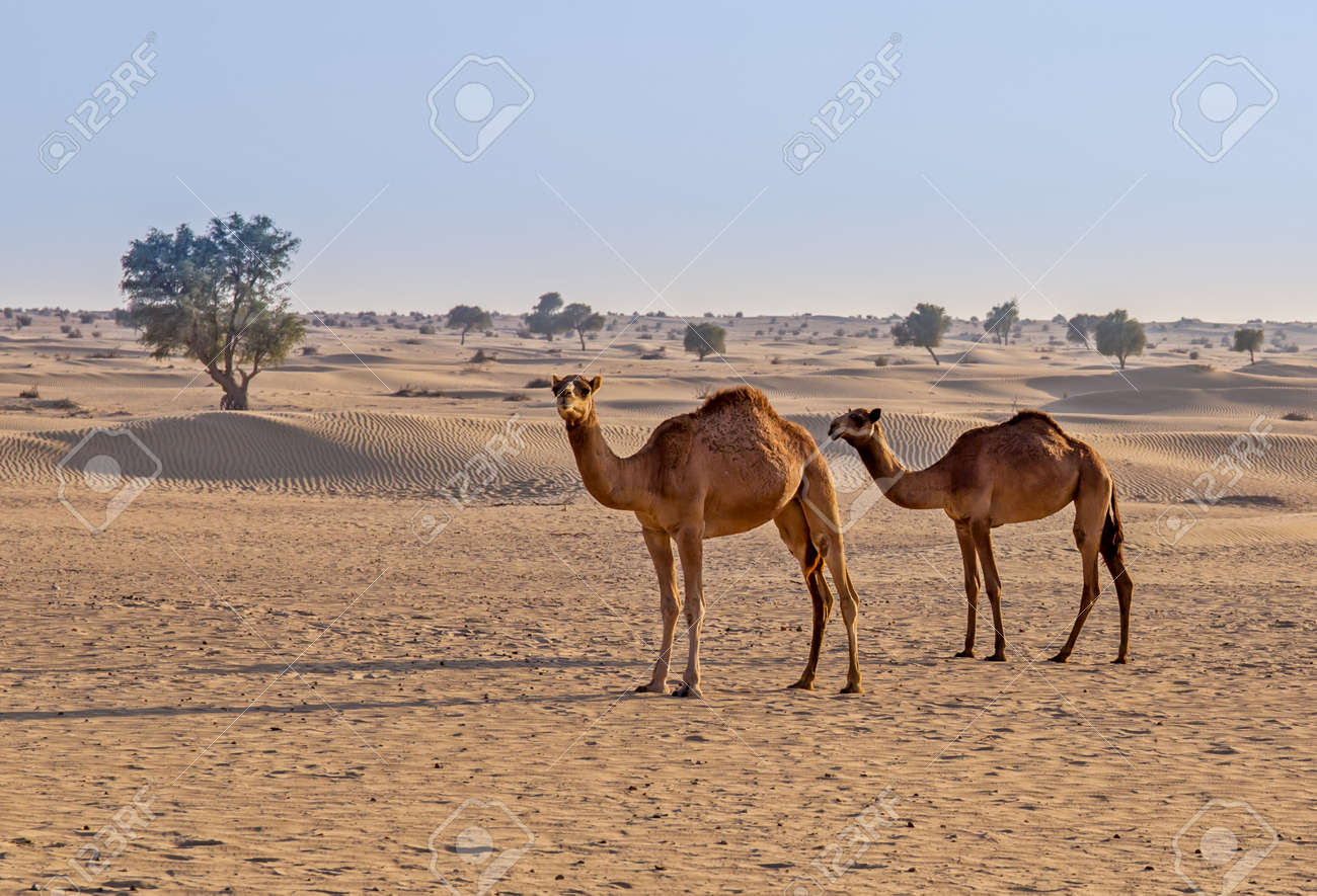camels in the desert - 23986795