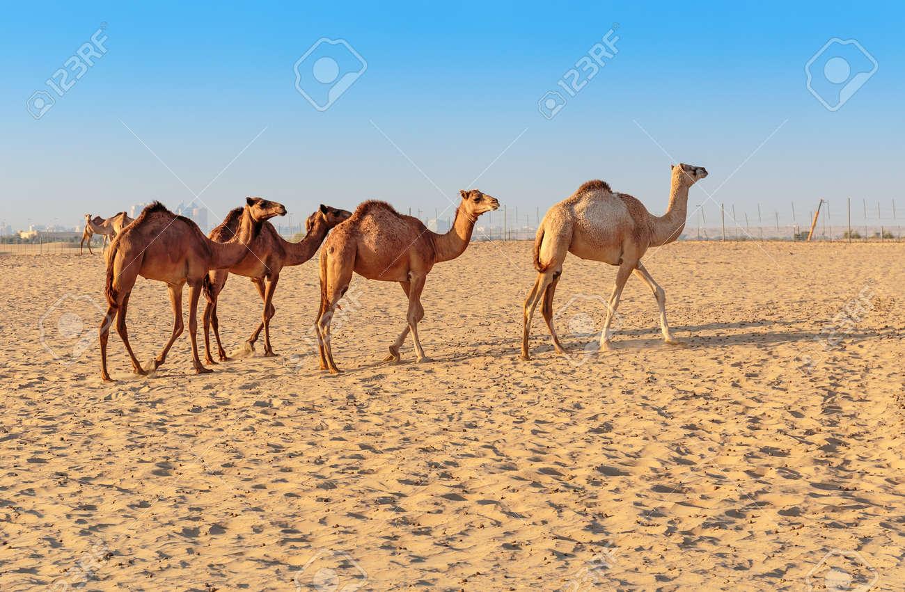 Camels in the desert Dubai - 40974469