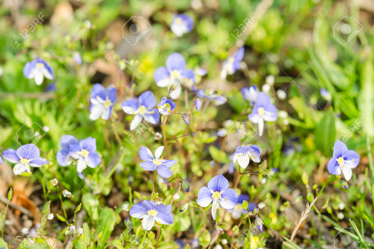 Small Blue Spring Flowers On The Sunlit Meadow Closeup Photography
