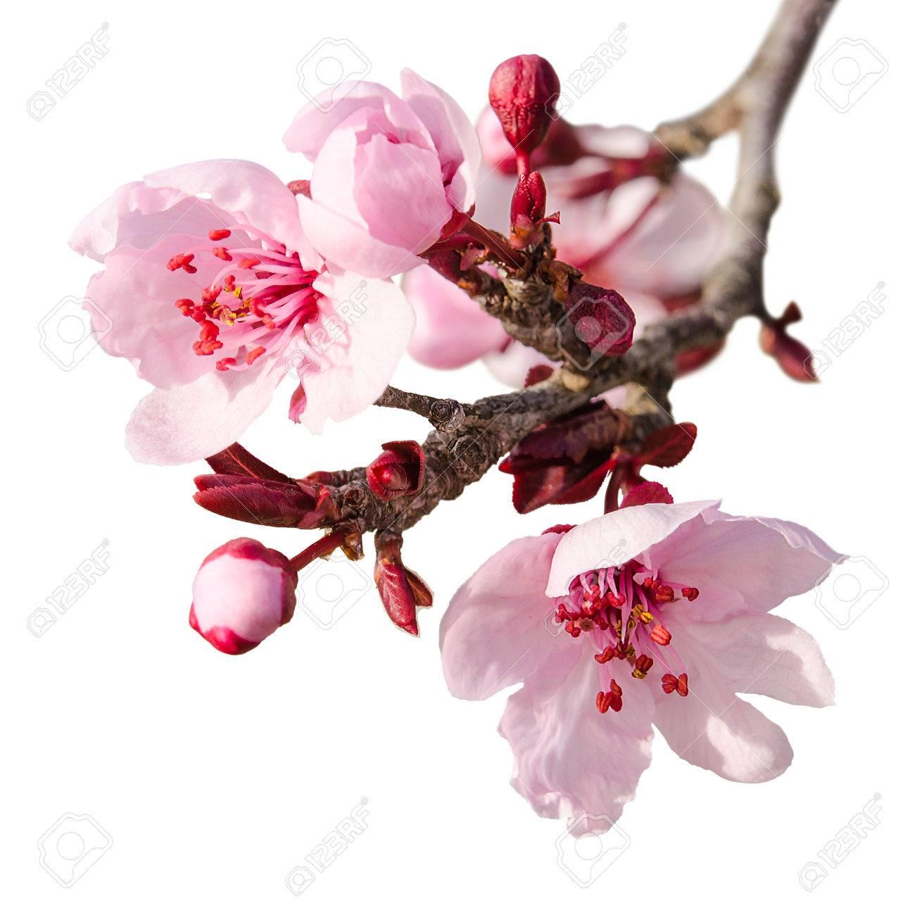 Direction Du Printemps Fleur De Prunier Avec Des Fleurs Roses Et Des