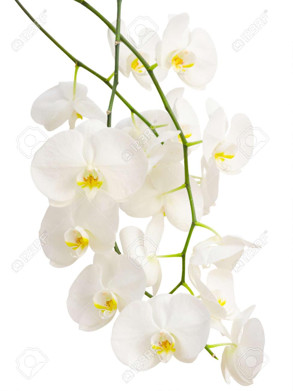 Elegantes Ramas Largas De Blancas Romanticas Flores De Las Orquideas