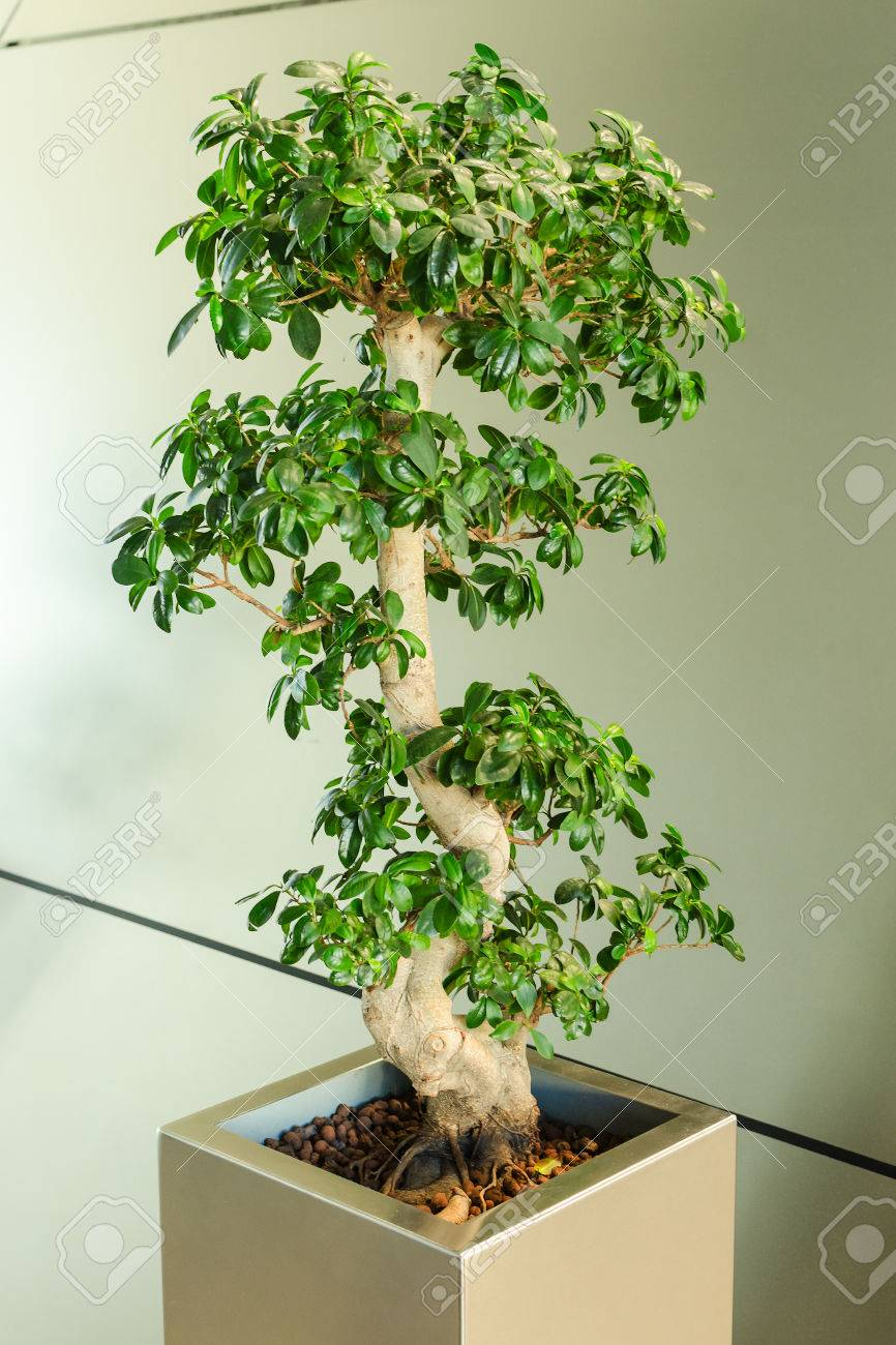 bonsai tree for office. Miniature Ficus Tree - Bonsai Japanese Traditional Art In Interior Of Modern Office Stock Photo For T