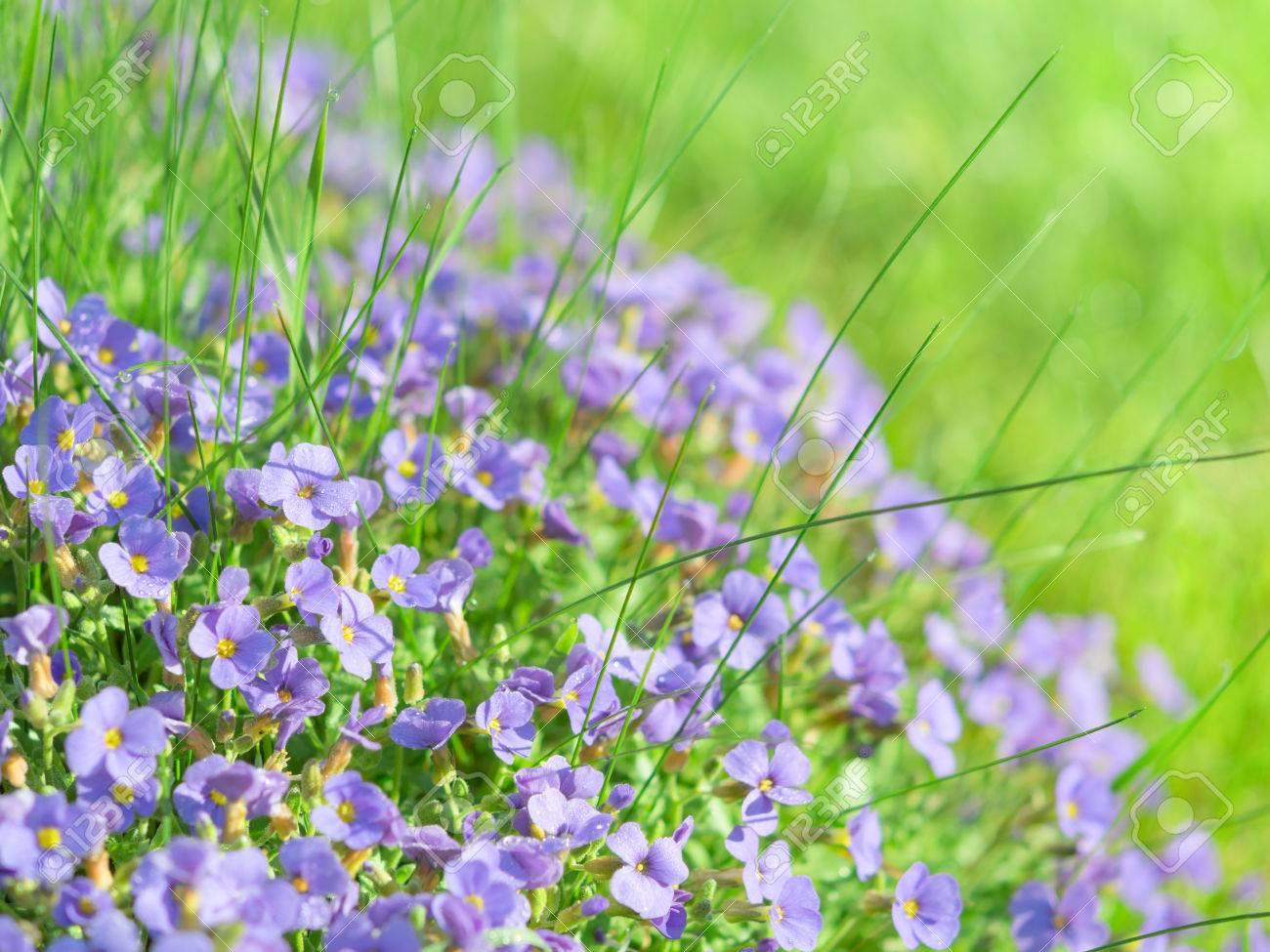 Archivio Fotografico , Piccoli fiori di campo blu su luce del sole alpino  foto di sfondo prato stock con poca profondità di campo