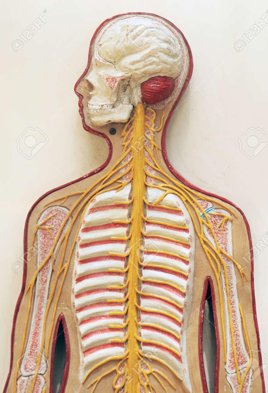 Blutgefäß Und Knochenanatomie-Lernausrüstung Des Menschlichen ...