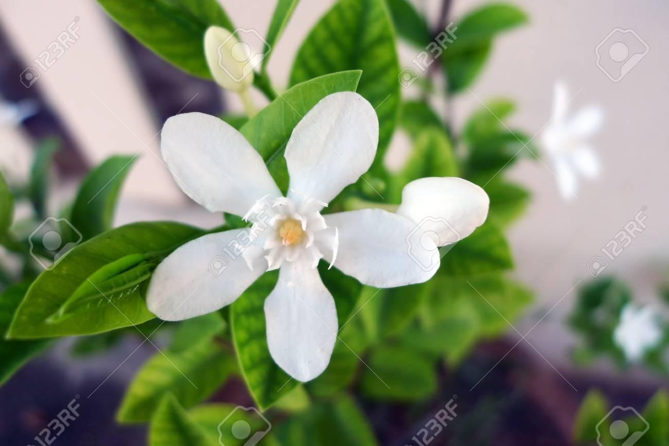 Cape jasmine(Garden gardenia, Gardenia jasminoides J.Ellis) on..
