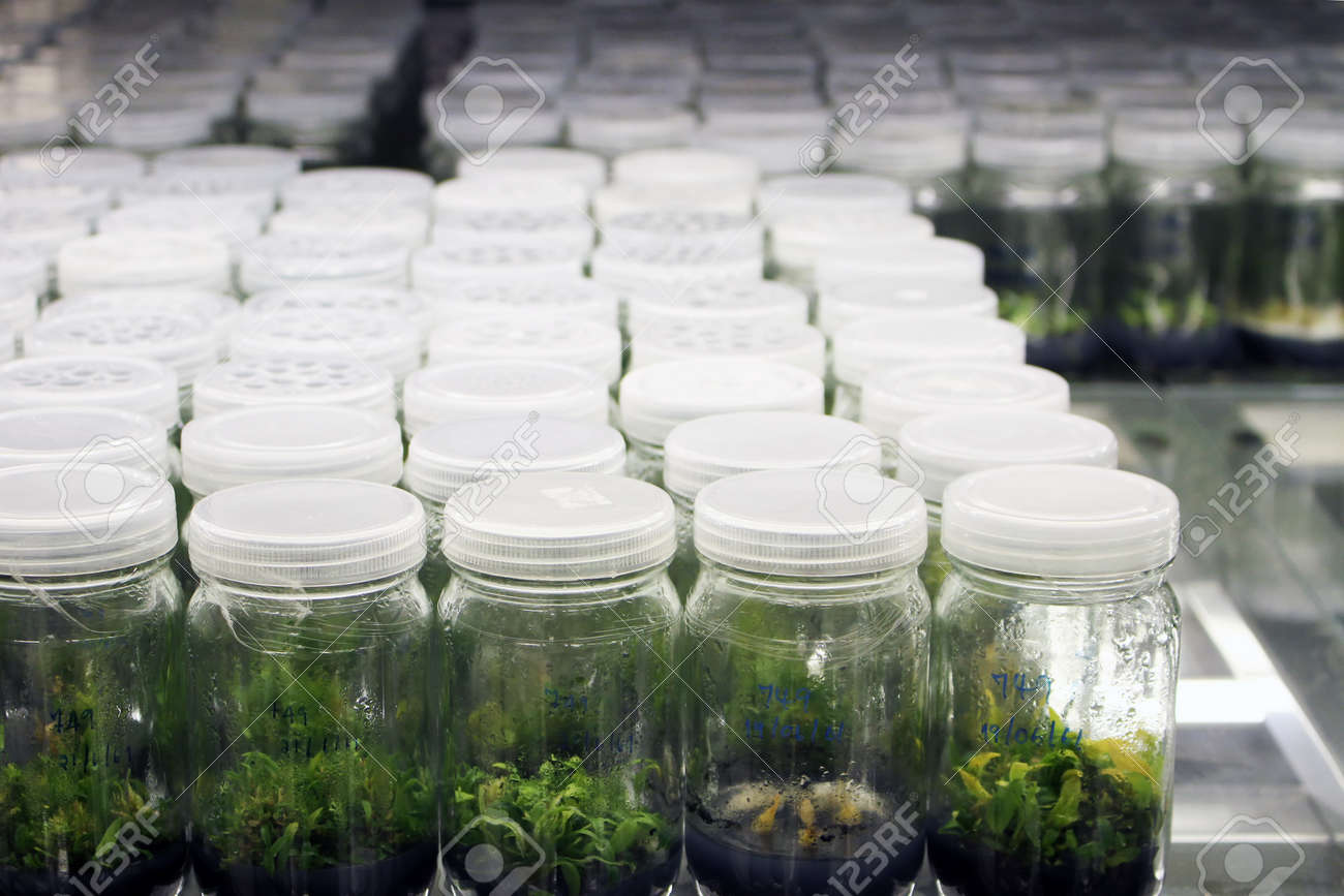 Plant tissue culture experiment in biology laboratory  Research