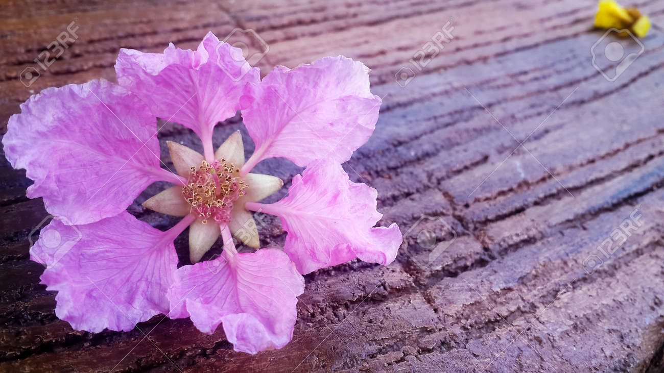 Tabak Pink Flower Bloom To Fall Down On The Wooden Background Stock