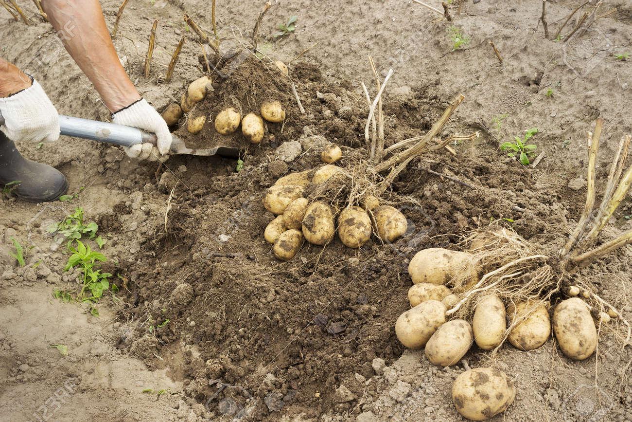 Rancher Harvesting Potato In The Vegetable Garden Stock Photo ...