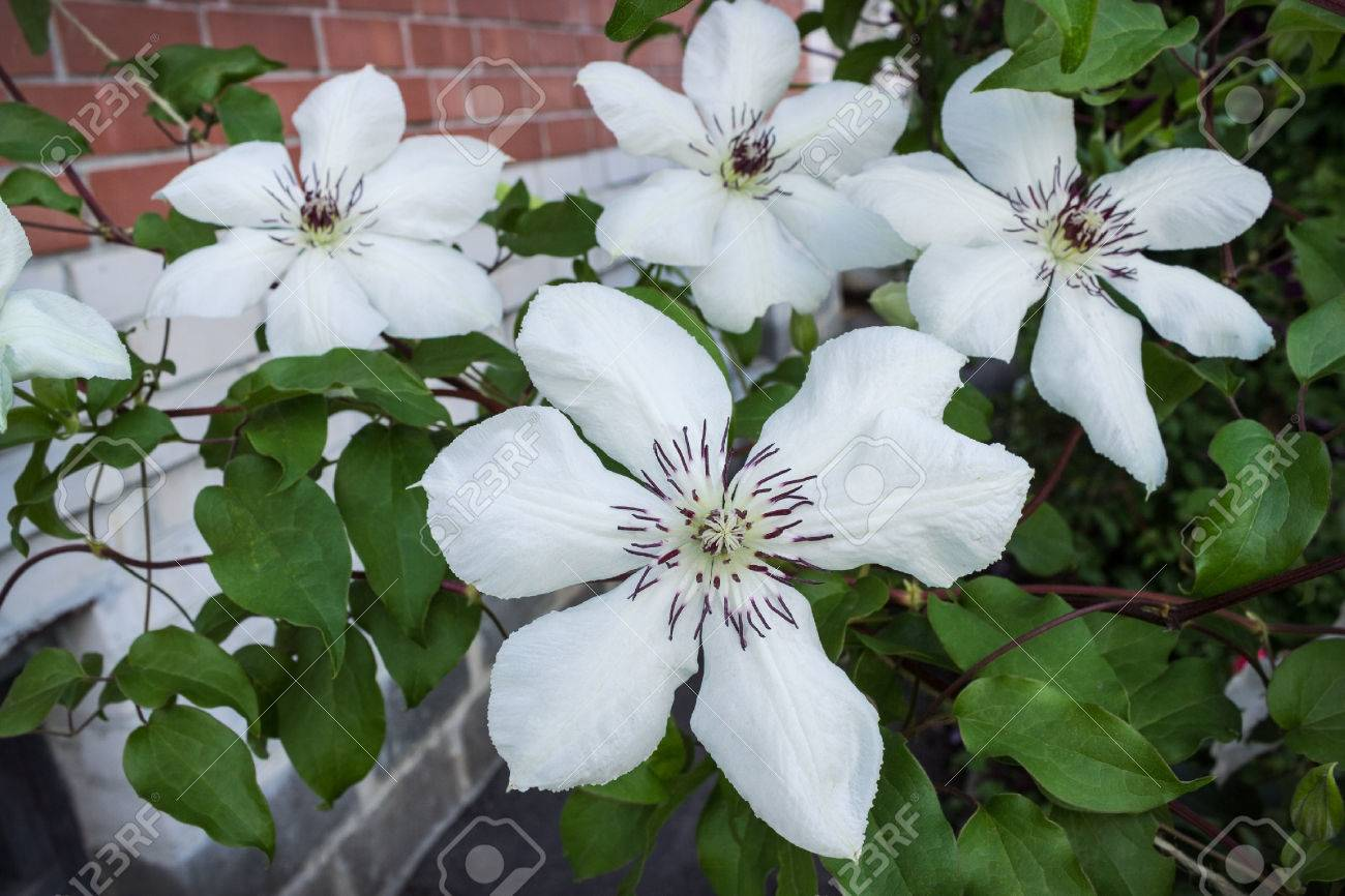 Clematis With White Flowers In The Summer Garden July Stock Photo
