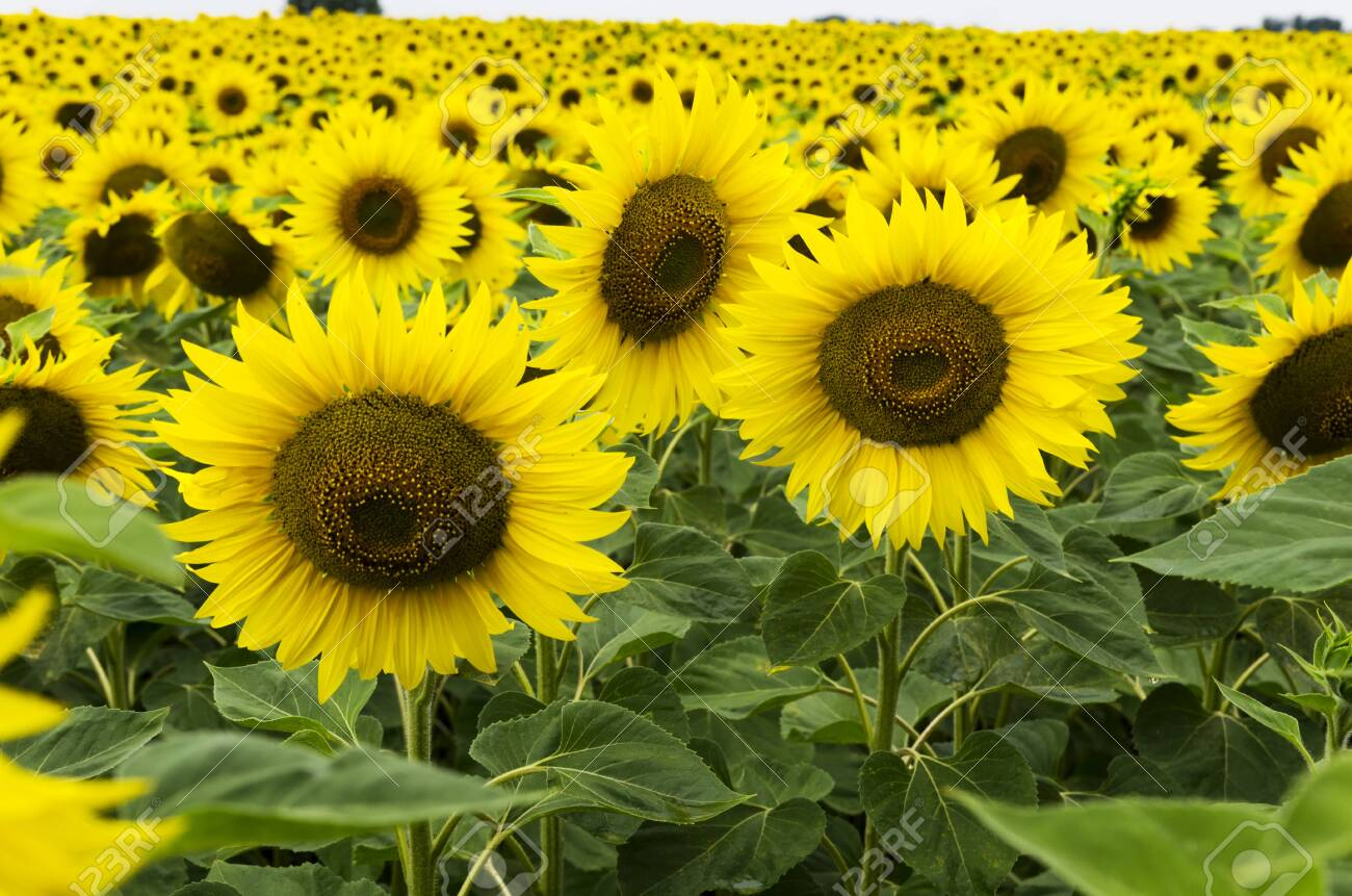 Blooming sunflowers in the field - 132363673
