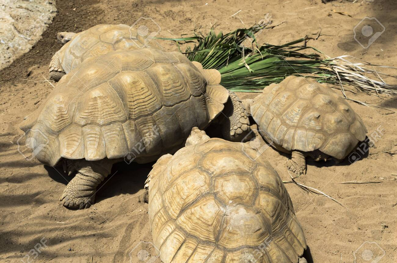 Group of giant turtles in the sand - 136645309