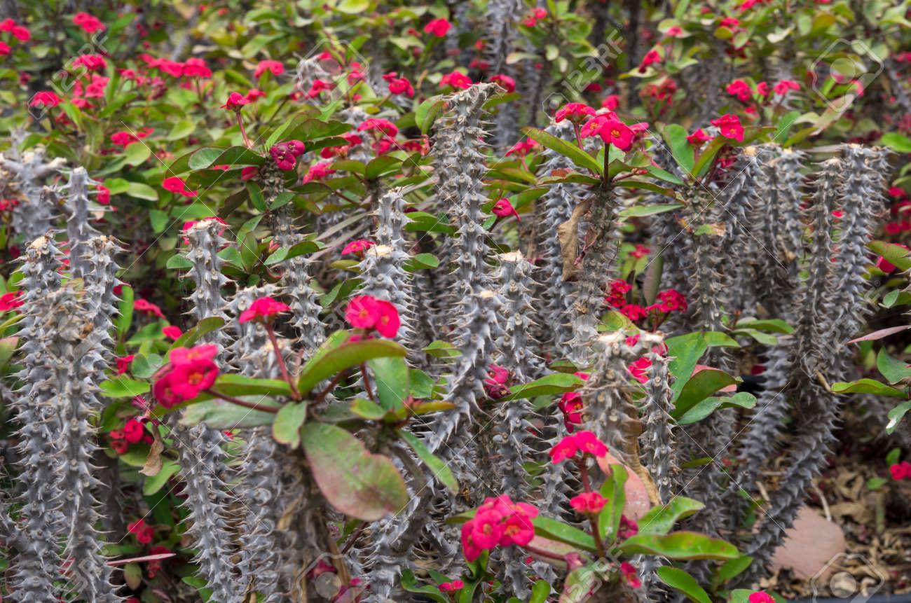 Thorny stalks of flowering euphorbia - 137632706