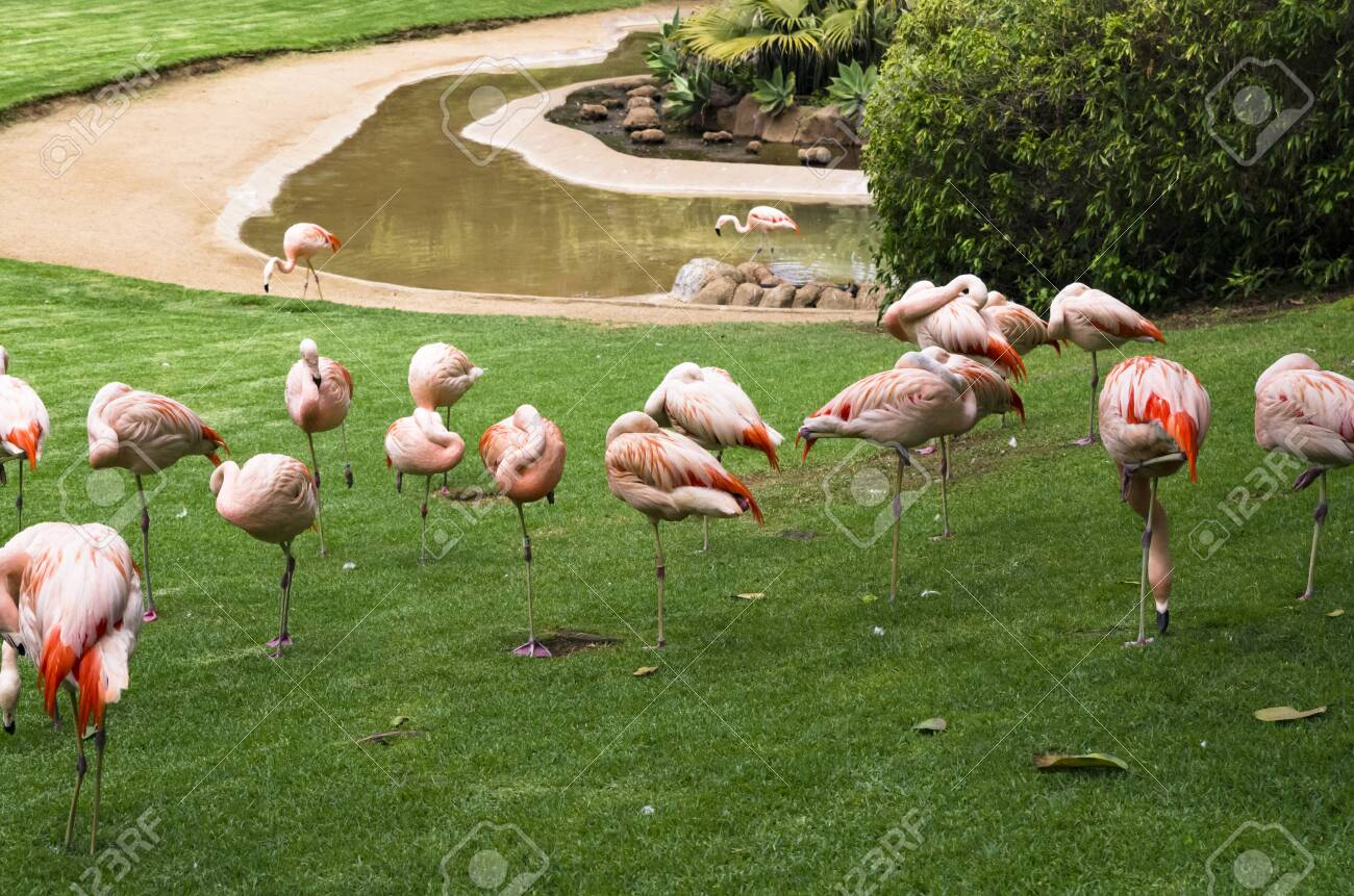 Flock of flamingo birds on a green lawn - 138766689
