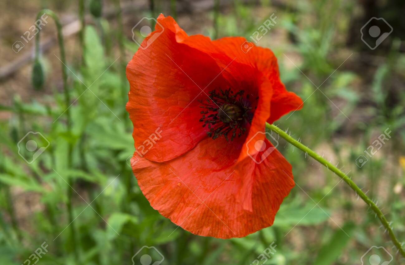 Red field poppy on a background of green grass - 138767117